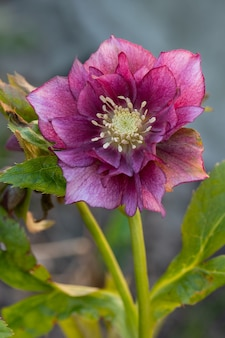 Plante helleborus violet rouge poussant dans un jardin