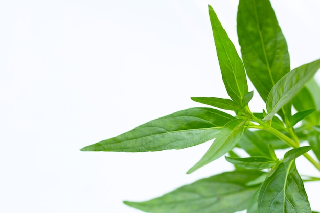 Plante herbacée, kariyat ou andrographis paniculata feuilles vertes sur surface blanche