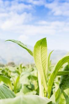 Plante herbacée nicotiana tabacum