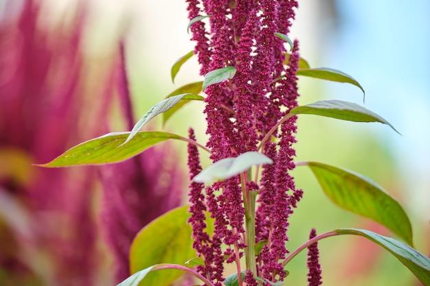 Plante indienne d'amarante rouge poussant dans le jardin d'été. légume-feuille, céréale et plante ornementale, source de protéines et d'acides aminés.