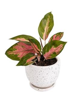 Plante d'intérieur aglaonema (chinese evergreen) dans un récipient en céramique blanc et noir moderne isolé sur blanc avec un tracé de détourage '