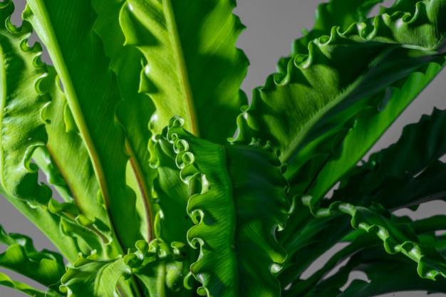 Plante d'intérieur asplenium nidus