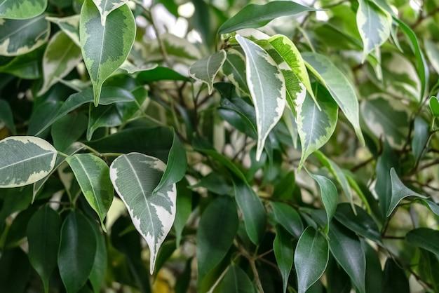 Plante d'intérieur ficus benjamina avec des feuilles vertes et panachées de différentes couleurs. fond naturel