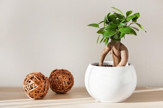 Plante d'intérieur ficus microcarpa ginseng en pot de fleurs blanc