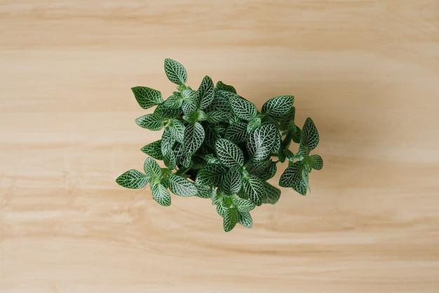 Plante d'intérieur fittonia vert foncé avec des stries blanches dans un pot marron sur fond beige avec des planches