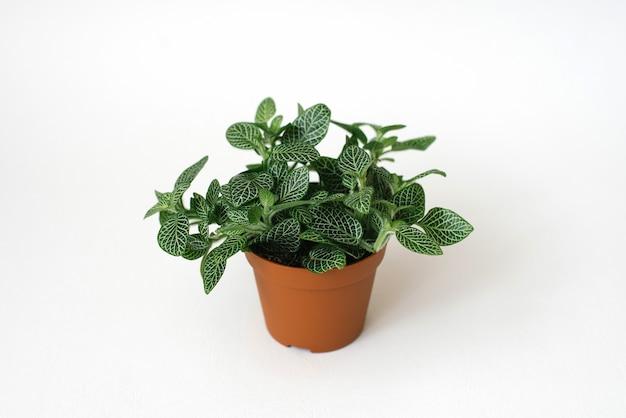 Plante d'intérieur fittonia vert foncé avec des stries blanches dans un pot marron sur fond blanc