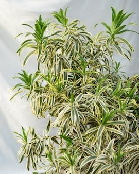 Plante d'intérieur de grande taille laissant vue rapprochée
