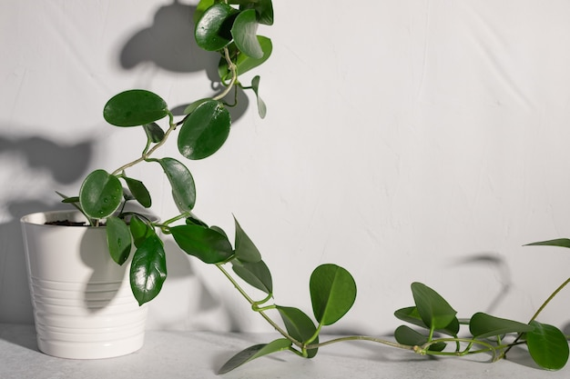 Plante d'intérieur hoya contre mur blanc au soleil jardinage à la maison