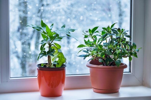 Plante d'intérieur à l'intérieur sur le rebord de la fenêtre en hiver