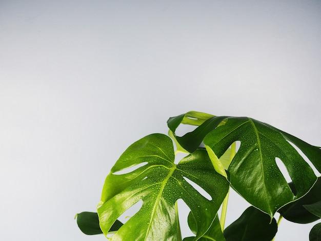 Plante d'intérieur monstera deliciosa en fond blanc avec copyspace