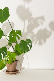Plante d'intérieur monstera en gros plan sur une table blanche contre un mur blanc, l'ombre d'une fleur sur le mur, conception biophilique