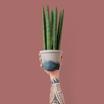 Plante d'intérieur de plante de serpent cylindrique isolée