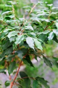 Plante d'intérieur en pot. plante tropicale d'intérieur. concept vitalité, croissance et nouvelle vie. pour la décoration et le design.