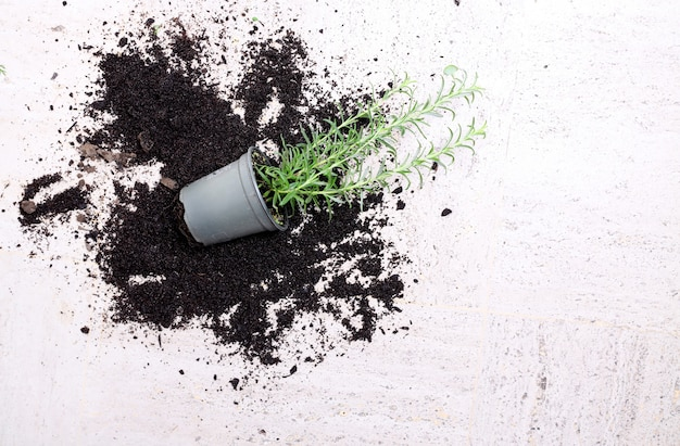 Plante d'intérieur tombée sur une surface blanche entourée de terre renversée