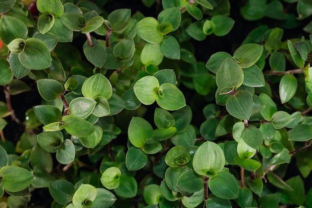 Plante d'intérieur vert callisia repens feuillage nature fond gros plan sur le fond clair