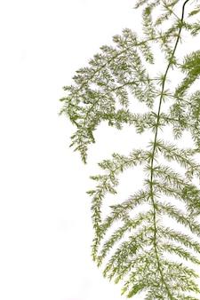 Plante de jardin d'asperges fougère