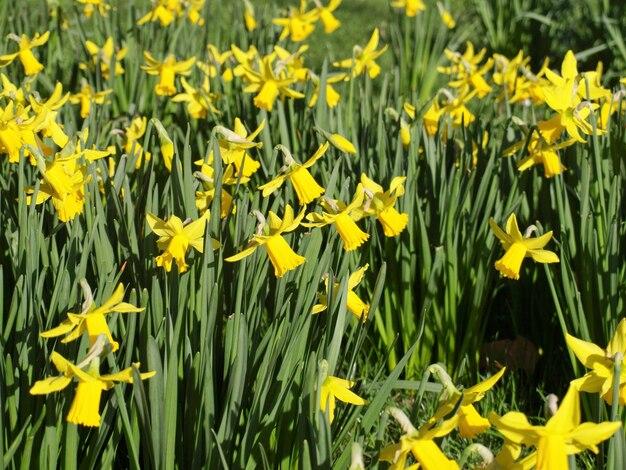 Plante jonquille (narcisse) fleur jaune