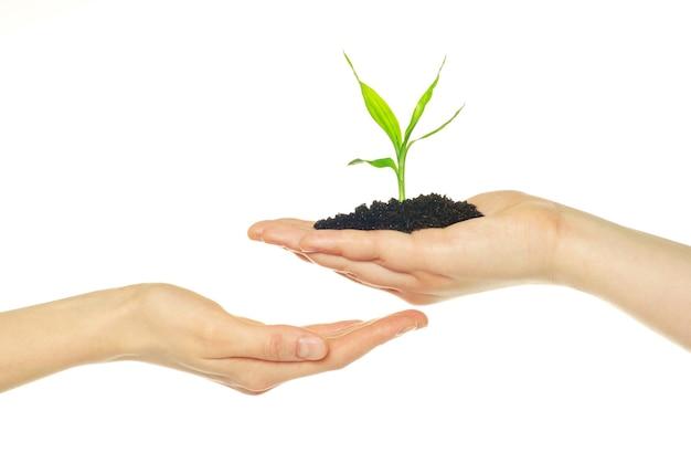 Plante en mains isolé sur fond blanc