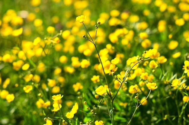 Plante médicinale chélidoine dans le jardin.