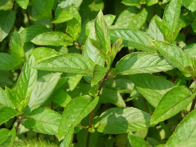 Plante de menthe poivrée (mentha piperita)