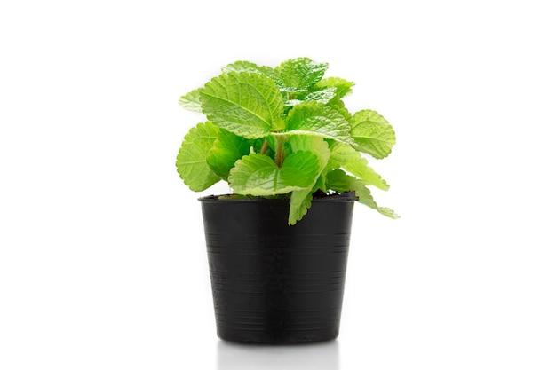 Plante de menthe poivrée en pot noir isolat