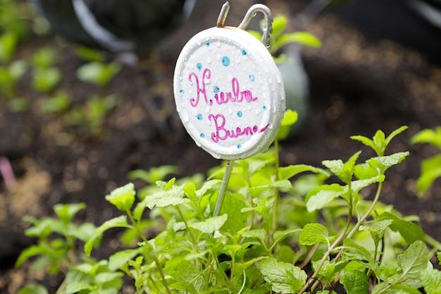 Plante de menthe verte (mentha spicata) avec un petit panneau avec son nom écrit en espagnol
