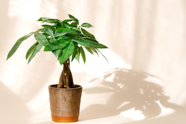 Une plante « money tree » (pachira aquatica). feuilles vertes de pachira aquatica sur fond beige.