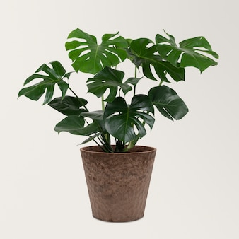 Plante monstera deliciosa dans un pot