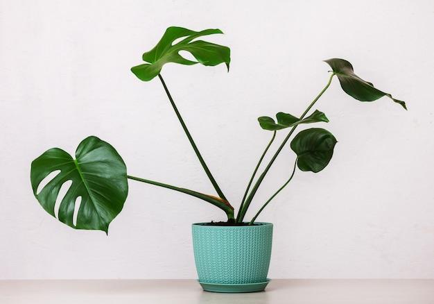 Plante monstera tropicale dans un pot de fleur sur une table contre un mur blanc