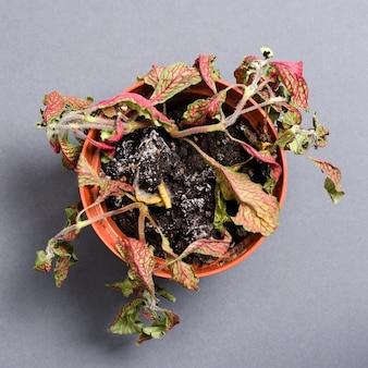 Plante morte dans un pot fittonia. sur un fond gris.