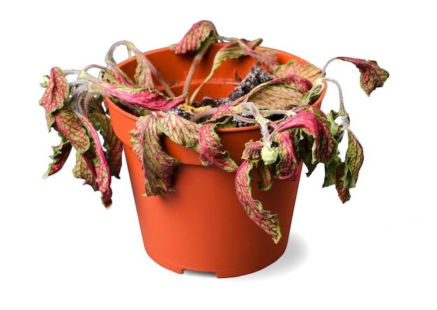 Plante morte dans un pot sur fond blanc isolé
