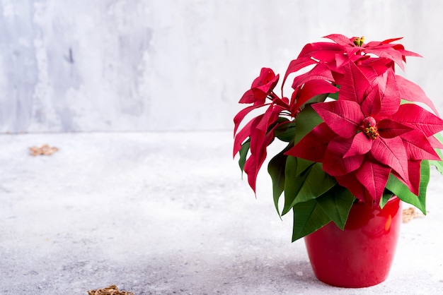 Plante de noël poinsettia rouge sur une pierre grise avec fond.