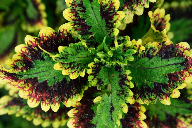 Plante ornementale feuille verte pourpre et jaune