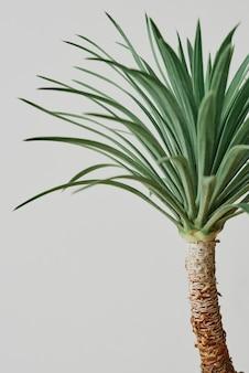 Plante de palmier agave sur fond gris
