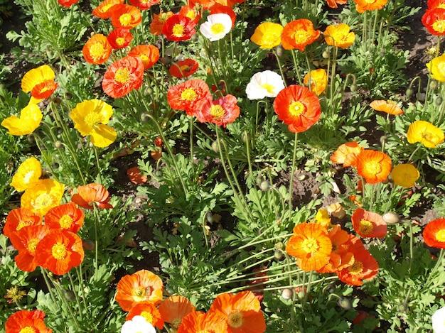 Plante de papaver (papaveraceae) fleur rouge et jaune