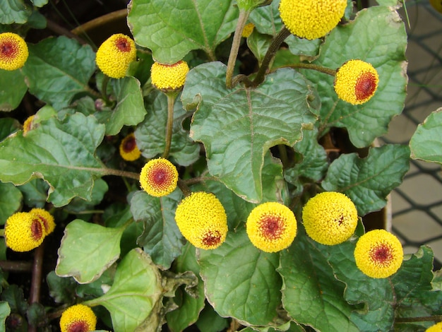 Plante para fleur de cresson à fleurs fraîches, spilanthes oleracea