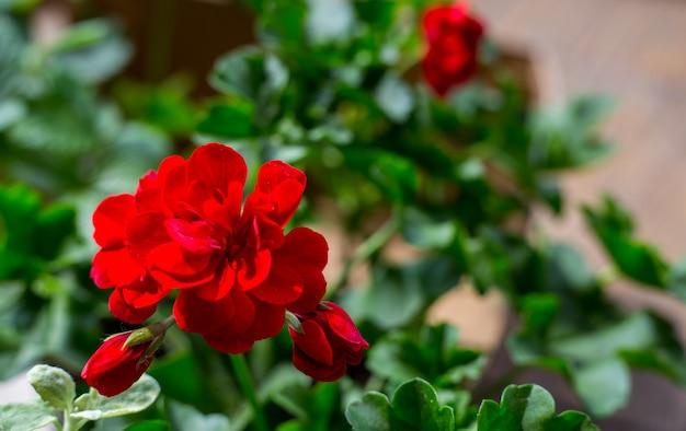 Plante pélargonium à fleurs rouge foncé, plante antiseptique naturelle qui assainit l'air. gros plan des boutures de pelargonium peltatum connues sous le nom de géranium en cascade, jardinage urbain sur balcon dans l'appartement