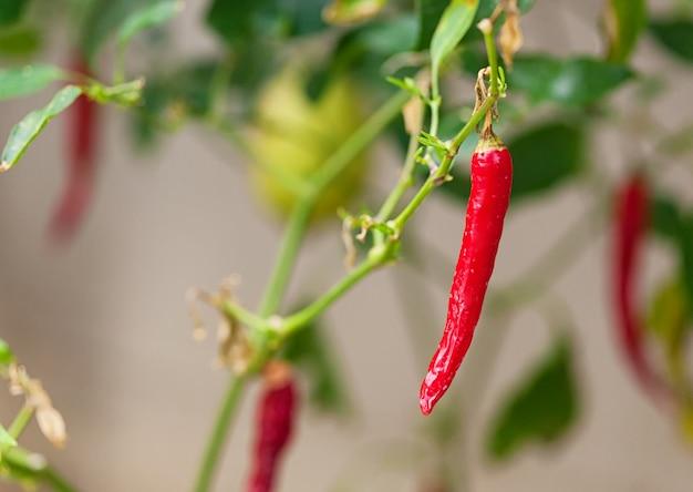 Plante de plus en plus de légumes d'épice mûre crue rouge piment rouge