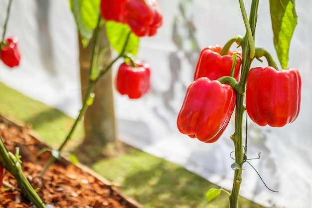 Plante de poivron rouge poussant dans un jardin biologique