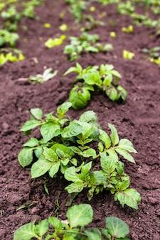 Plante de pomme de terre jeune en bonne santé dans le jardin biologique.