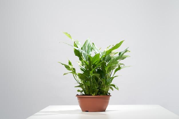 Plante en pot d'intérieur sur fond gris vide