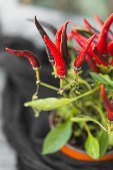 Plante en pot de piment rouge
