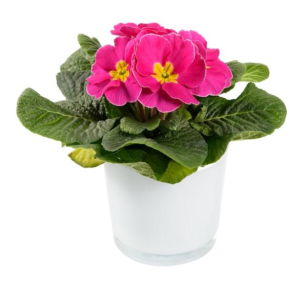 Plante en pot de primevère ou primula panachée rose et jaune coloré