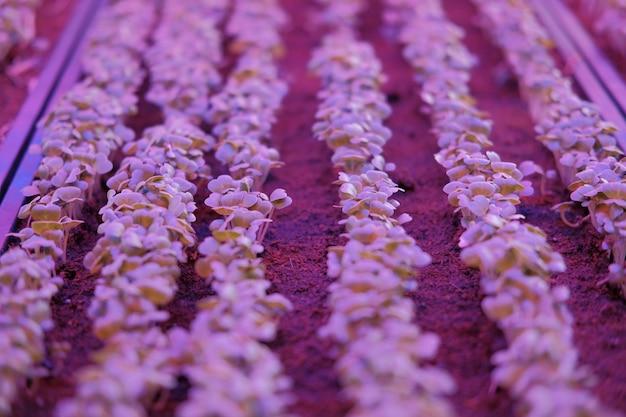 Plante poussant dans une ferme intérieure intelligente avec une lumière led artificielle. lampe phyto pour semis et culture