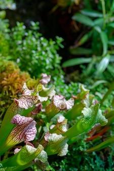 Plante prédatrice carnivore saracenia - sarracenia