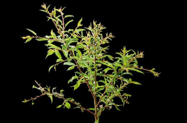 Plante de printemps malade. prune ramifiée avec ravageurs. sur la branche d'une prune gusenica et des tétranyques.