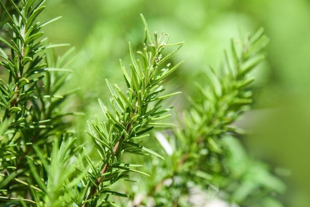 Plante de romarin feuilles dans le fond vert nature jardin
