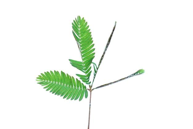 Plante sensible plante endormie le touchmenot situé sur un fond blanc