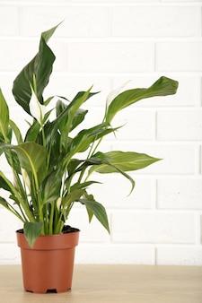 Plante spathiphyllum sur fond blanc