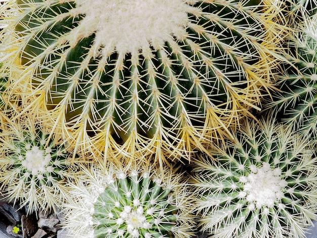Plante succulente, echinocactus grusonii plante succulente
